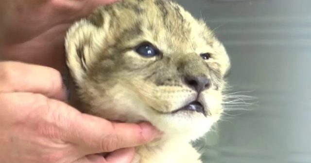 The World's FIRST Ever Lion Cubs Born Through Artificial Insemination Here's The World's FIRST Ever Lion Cubs Born Through Artificial Insemination Here's The World's FIRST Ever Lion Cubs Born Through Artificial Insemination heres the worlds first ever lion cubs born through artificial insemination