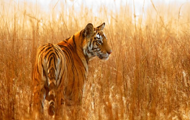 How Nepal Could Become The First Nation To Double Its Tiger Population? How Nepal Could Become The First Nation To Double Its Tiger Population How Nepal Could Become The First Nation To Double Its Tiger Population how nepal could become the first nation to double its tiger population